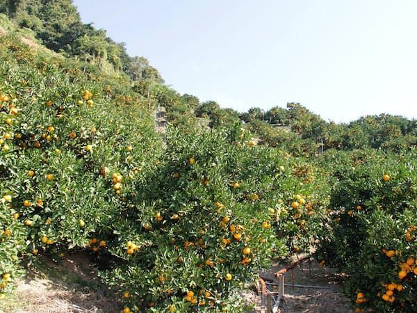 ミカン栽培も収穫時期の人手不足が深刻という(香南市山北)