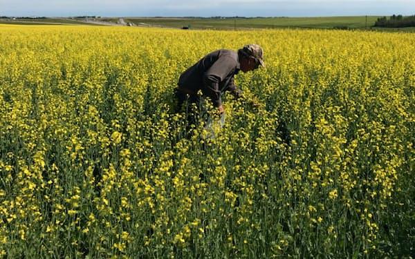 中国の輸入が減るとの観測が広がる(カナダの菜種畑)