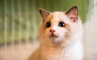 シードの猫用コンタクトレンズは角膜の保護に使う