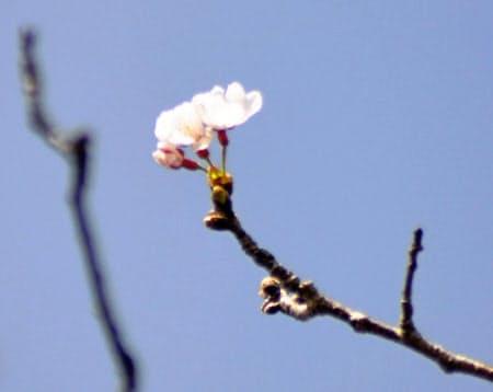 20日午後、長崎市内で開花したソメイヨシノ=共同
