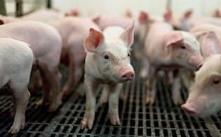 米国産豚肉の対日輸出額は19年に入り、数量ベースで35%減っている=ロイター