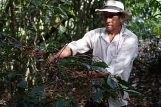手摘みでの収穫はコストが高くつく(コロンビアの農園)