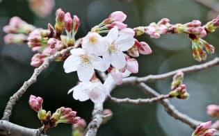 開花したソメイヨシノ(21日午前、東京都千代田区の靖国神社)