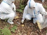愛知県小牧市の山中にワクチン入りの餌を埋設する作業員(24日)=同県提供