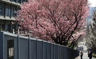 外務省南側の潮見坂で濃いピンクがひときわ目を引く「陽光桜」(20日)
