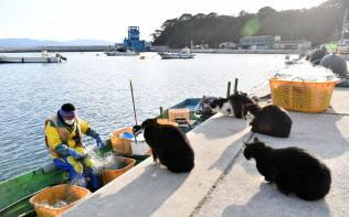 島民よりも多い猫が暮らす田代島。港に漁師が戻ると、魚のおこぼれをもらおうと猫が集まる(宮城県石巻市)