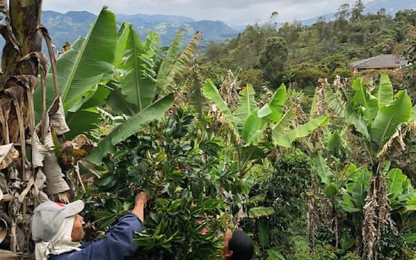 アラビカ種のコーヒーは標高の高い場所で栽培される(コロンビアの農園)