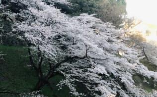 冷たい朝の桜