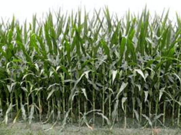 米産地の天候で相場が動きやすい時期を迎える(米ミズーリ州のトウモロコシ畑)