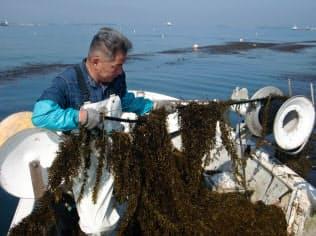 海藻が不作で価格も上昇している(山口県下関市での収穫作業)