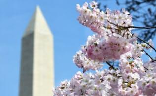 ポトマック河畔で満開を迎えた桜。奥はワシントン記念塔(3月30日、ワシントン)