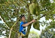木に登りドリアンを収穫する男性(タイ東部のチャンタブリ県)