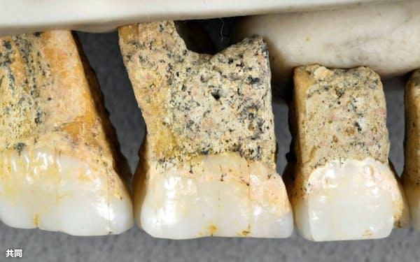 フィリピン・ルソン島の洞窟で発掘された新種の原人の歯の化石(研究チーム提供)=共同