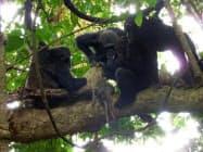 ヒョウが狩ったとみられる獲物を囲むチンパンジー(京都大の中村美知夫准教授提供)=共同