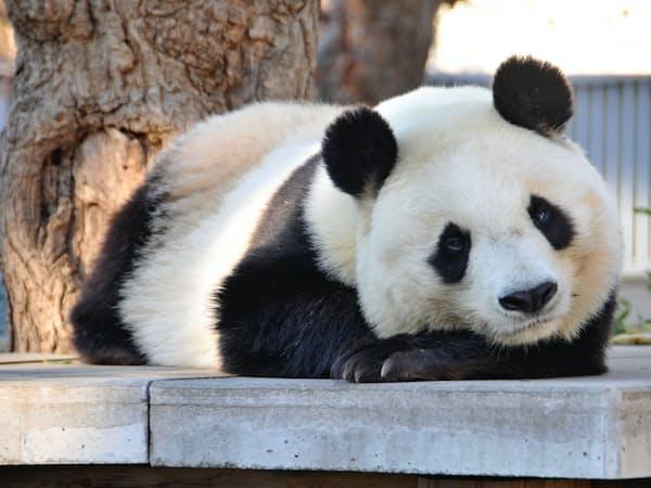 2000年に来園した雌のタンタン。現在、神戸市の唯一のパンダ。20年に貸与期限が切れるが、延長できるかは不透明=王子動物園提供