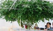 観光温室では多種多様なトマトを展示している
