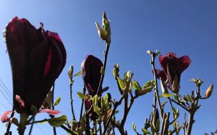 モクレンの花も散る季節に