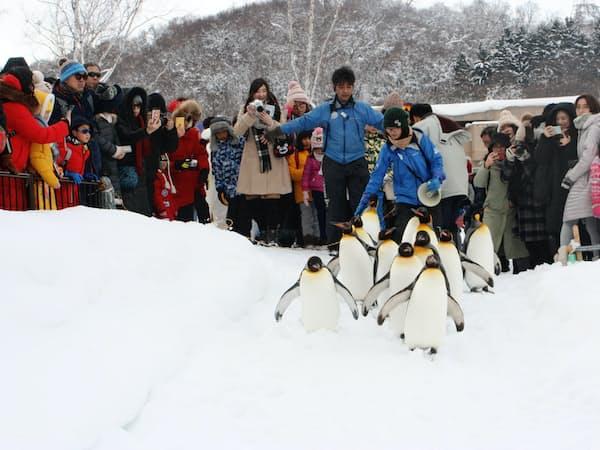 平日でも訪日客らでにぎわう旭山動物園の「ペンギンの散歩」