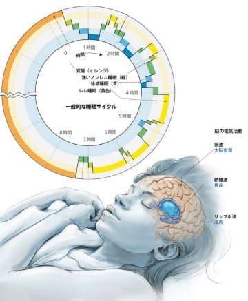 睡眠中にはレム睡眠とノンレム睡眠が交互に現れる。ノンレム睡眠の中でも特に深い徐波睡眠のときに記憶にかかわる紡錘波などが生じ、日中の記憶が再生されて脳内に定着するようだ