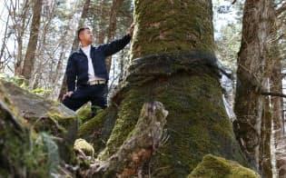 「御柱の森」に立つモミの大木(長野県下諏訪町)