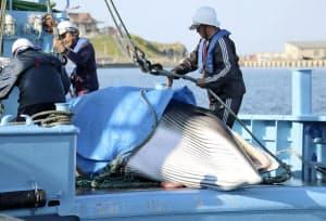 水揚げされるミンククジラ(4日午後、青森県八戸市の八戸港)=共同