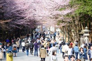 北海道神宮には満開の桜を見ようと多くの人が訪れた(札幌市)