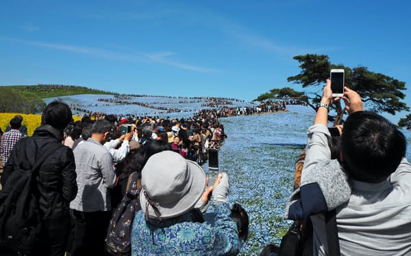 国営ひたち海浜公園はネモフィラの開花予想をきめ細かく発信した