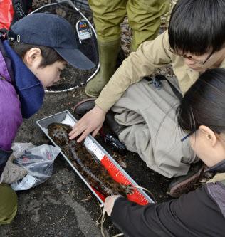 椋梨川に生息するオオサンショウウオの体長を調べる広島大の学生ら(4月、広島県東広島市)=共同