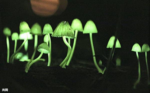 淡い緑色の光を放つ「シイノトモシビタケ」(和歌山県那智勝浦町)=共同