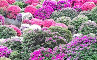 4月下旬以降ピークを迎えた根津神社(東京・文京)のツツジ。昨年よりやや遅れた