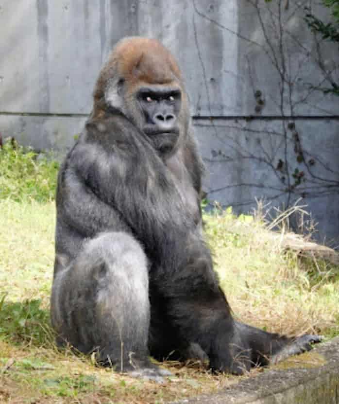 国内最高齢ゴリラ死ぬ 仙台の動物園、推定50歳: 日本経済新聞