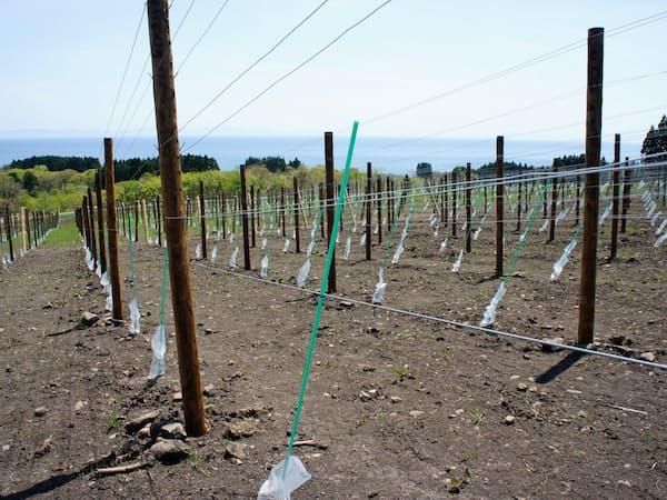 津軽海峡を見渡す南向きの斜面にブドウの木を植え始めた(北海道北斗市のサッポロHDの自社畑)