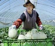 北海道夕張市で始まった「夕張メロン」の収穫(23日午前)=共同