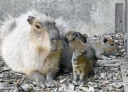 六つ子の赤ちゃんが生まれた兵庫県姫路市立動物園のカピバラ(23日)=共同