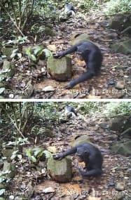 水たまりに生息する沢ガニを食べるチンパンジー=チューリヒ大のカテリーナ・クープス博士提供・共同