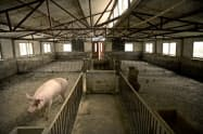 アフリカ豚コレラの感染拡大に見舞われている中国の養豚場=AP