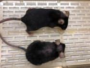 発見した酵素を投与したマウス(上)は投与していないマウスに比べ若々しくみえる=今井氏提供