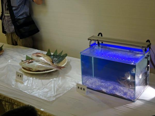 くら寿司はタイなどの未成魚を育てて、寿司などに活用する