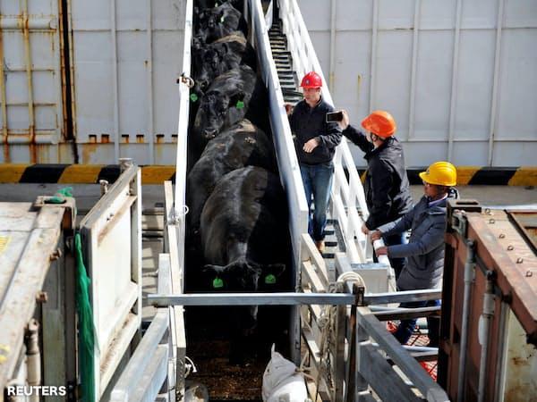 オーストラリアから輸入される肉牛(青島)=ロイター