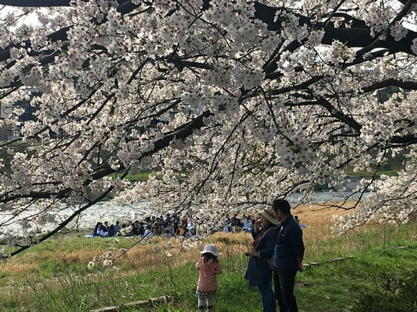 全国的に桜の健康度は低下している(金沢市)