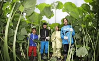 巨大フキ、収穫最盛期 北海道足寄町で体験会