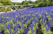 「とっとり花回廊」でほぼ満開となったブルーサルビア(23日、鳥取県南部町)=共同