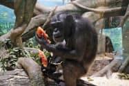 チンパンジーにスイカをあげるイベントも実施する