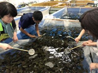 ヒラメの稚魚の放流の「選別」作業にあたる施設関係スタッフ