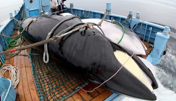 調査捕鯨で捕獲された2頭のミンククジラ