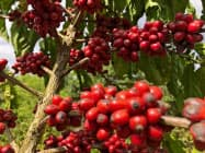 ブラジルのコーヒー産地は収穫期に入り、天候不順による減産懸念が広がっている