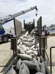 塩釜港に水揚げされたビンチョウマグロとカツオ。ビンチョウマグロだけ選別し、EUに輸出する(11日、宮城県塩釜市)