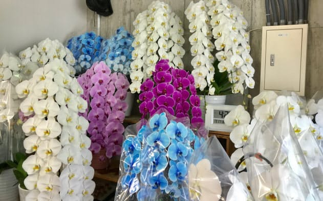 選挙の当選を祝って送られる花はコチョウランが多い