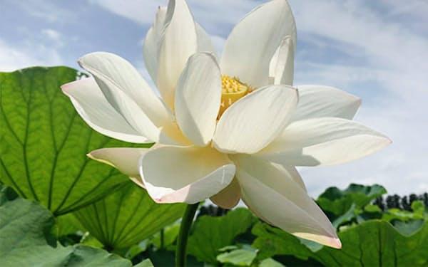ハスの花が散り、実が枯れるころからレンコンの収穫が始まる(金沢市)