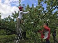 リピーターも多い阪急交通社のサクランボ収穫体験ツアー(6月、山形県天童市の王将果樹園)